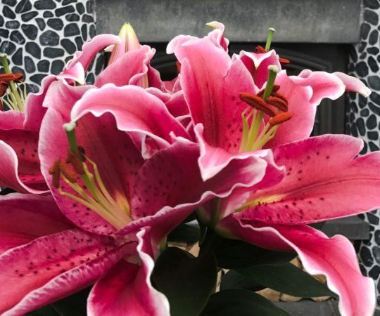 Lilium Plants