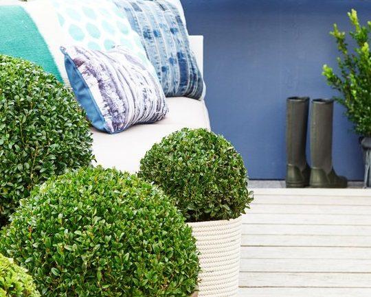 Buxus Jeans of Garden